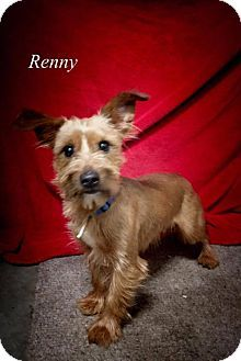 Pictures of Renny a Yorkie, Yorkshire Terrier/Terrier (Unknown Type, Medium) Mix for adoption in Chester, IL who needs a loving home.