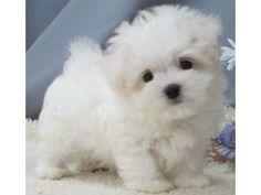 Maltipoo puppy for sale on Long Island New York
