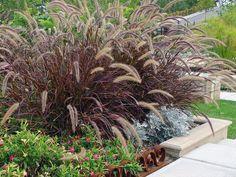 Purple fountain grass  Google Image Result for http://hgtv.sndimg.com/HGTV/2008/10/17/good-grasses_Pennisetum-setaceum-Rubrum_Darke_lg.jpg