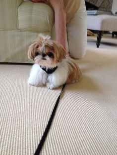 Cute Shih Tzu puppy wants to play...or eat, or both