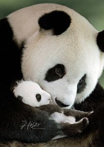 Endangered means we have time….extinction is forever - Cutest Baby Animals Pretty Animals, Cute Baby Animals, Animals Beautiful, Wild Animals, Baby Panda Bears, Baby Pandas, Giant Pandas, Funny Animal Pictures, Cute Pictures