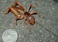 jerusalem cricket (baby dirt) these are in New Mexico. they are flesh colored and screeech like babies..creepy!