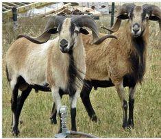 13 Best Baas farm images in 2019 | Goat farming, Farm Animals, Goats