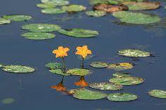 수련꽃과오리에 대한 이미지 검색결과