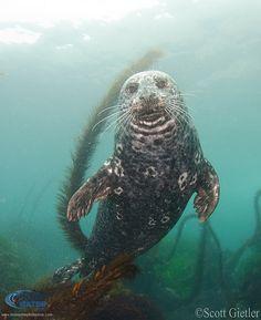 Harbor Seal in California Beautiful Ocean, Animals Beautiful, Animals And Pets, Cute Animals, Harbor Seal, Song Of The Sea, Zoo, Sea Lions, Antarctica