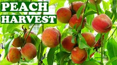 Harvesting Fresh Peaches From Tree - Harvest Peach Fruits When How To Te...