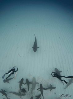 freediver, scuba diver, and the rest of the sharks turn and wait –   Identifications : Raul Boesel Photography