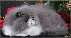 persian cats - Buscar con Google