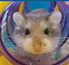 4 Ways to Care for Dwarf Hamsters - wikiHow