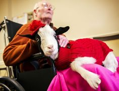 Therapy Goat!     Gigi is a therapy animal brought in to aid and entertain the residents of the Gateway Senior Living community.
