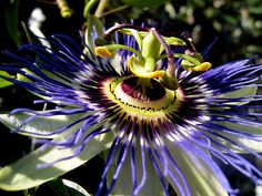 Passion flower Love love these excotic flowers!