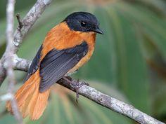 Картинки по запросу Black-and-white Shrike-flycatcher