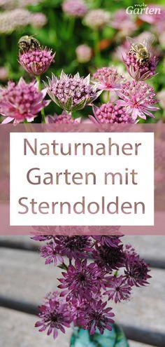 Sterndolden öffnen ihre zierlichen, weißen bis rosafarbenen Blüten auch im Halbschatten. Sie blühen im Spätsommer und gehören zu den Doldenblütlern, die Bienen besonders lieben. Tipps zur Pflege der Sterndolde (Astrantia major) finden Sie hier.