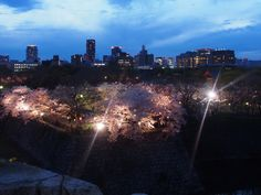 541:「大阪城公園の夜桜ライトアップ!」@大阪城公園