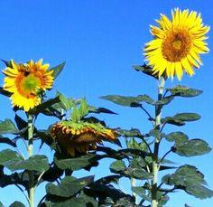 Skycraper sunflower