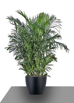 Pictures of bamboo palm houseplant - Bamboo Palm, Bamboo Plants, Indoor Plants, Green Plants, North Garden, Quick Healthy Breakfast, Plant Therapy, Fiddle Leaf Fig, Interior Plants