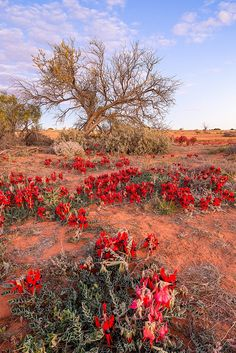 Julie Fletcher Photography - Sturt Desert Peas