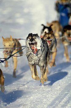 Alaska. Iditarod dog sled team charges down a straight-away.