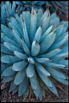 A. macroacantha A small blue-gray agave is a welcome thing ― most are much larger. Modest 1½-foot size makes this species useful