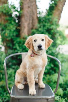 15 Week old Golden Retriever Puppy