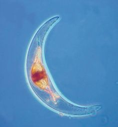 The bioluminescent, Pyrocystis lunula is a crescent or half-moon shaped dinoflagellate species that belongs to the oceanic plankton of tropical and subtropical seas. It is a single-celled alga (round nucleus) and reproduces asexually.