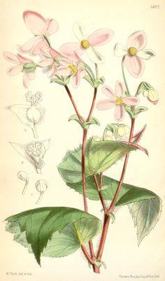 Begonia crinita (1871) - Curtis's botanical magazine.
