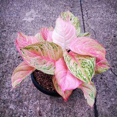 Pink Plant, Indoor Plants, Succulents, Plants, Inside Plants, Succulent Plants