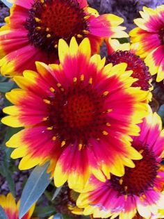 My Blanket flower