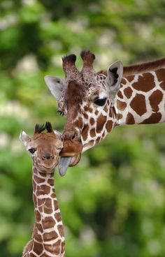 a kiss, mothers day, ear, the zoo, giraff, clean face, baby animals, africa, friend