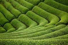 #Matcha tea fields.