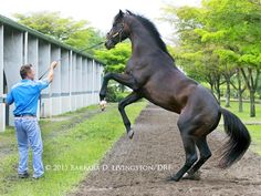 Barbara Livingston @DRFLivingston Gorgeous MGSW PANTS ON FIRE with attentive trainer Kelly Breen, this morning at PM. Ready for Sat.'s Sir Shackleton!