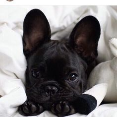 """Check out our internet site for additional information on """"bulldog puppies"""". It is an outstanding place to find out more. Cute French Bulldog, French Bulldog Puppies, Cute Dogs And Puppies, French Bulldogs, Baby Bulldogs, English Bulldogs, Doggies, Baby Animals Pictures, Funny Animals"""