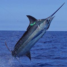 Browse around this website realized alaska fishing tips Bass Fishing Videos, Kayak Fishing Tips, Sport Fishing, Sea Fishing, Saltwater Fishing, Marlin Fishing, Planeta Animal, Alaska Salmon Fishing, Aquarium