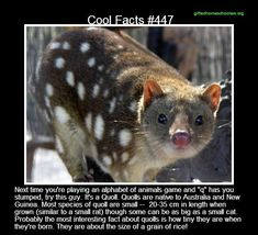 Cool facts #447  http://www.funtrivia.com/en/subtopics/The-World-of-Quolls-268785.html