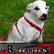 Tampa Bay Buccaneers Red-Pewter Dog #Harness #Football #NFL #NFLDogProducts #NFLPetProducts #DogProducts #PetProducts #TampaBayBuccaneers #TampaBayBuccaneersDogs #TampaBayBuccaneersPets #Buccaneers #Animals #Dogs #Pets #AdorabullBulldogs #PawsativeParents