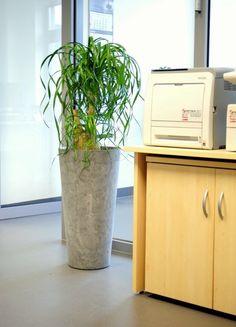 http://officeplant.pl/ rośliny do biura, nolina