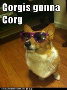 Corgis gonna Corg!  LOL!! LOVE IT!