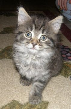 Pictures Of Kitten Cats