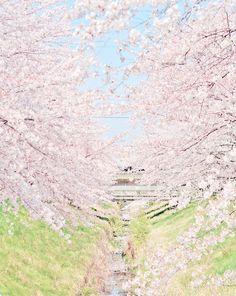 cherry blossoms, japan, japanese, nature, photography, pink, sakura