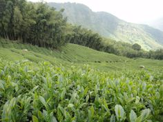 Tea garden surrounded by bamboo forest in Shan Lin Xi, Taiwan. 1600m elevation.