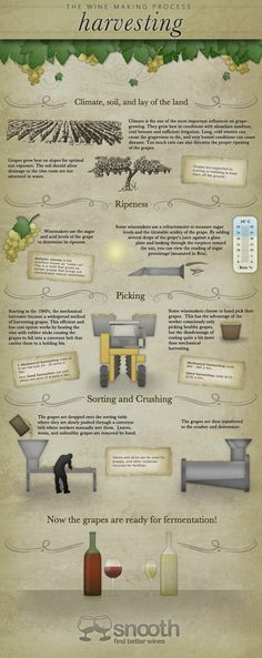 The Wine Making Process: Wine Harvesting Infographic