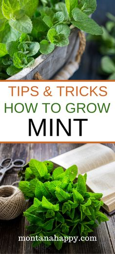 HOW TO GROW MINT will show you why every garden should include this amazing herb and the do's and don'ts of adding mint gardening beds. Organic Gardening, Herbs, Growing Herbs In Pots, Gardening For Beginners, Mint Garden, Planting Herbs, Growing Mint, Growing Mint Indoors, Gardening Tips