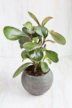 Looking for a plant that works well in containers and glistens with style? The baby rubber plant is shiny and bright, yet low-maintenance. Yes, the waxy round leaves give it a special sheen and a shape that's ideal for the pot of your choice. The photo below appears in an amazing post from A Beautiful Mess, which showcases a collection of unique houseplants that are non-toxic