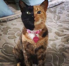 Conoce a Venus, el misterioso gato de dos caras http://www.mascotadomestica.com/razas-de-gatos/conoces-a-venus-el-gato-de-dos-caras.html