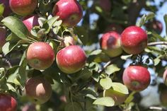 Ripe and ready for picking Garden Photos, Holiday Destinations, Orchards, Fruit, Green, Romantic, French, Apple, Projects