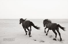 """""""Young at Heart"""" from Drew Doggett's Discovering the Horses of Sable Island collection."""