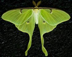 Luna #Moth