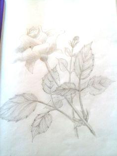 Rose in pencil