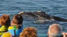 Whale at boat Whale Watching, Boat, Animals, Dinghy, Animales, Animaux, Boats, Animal, Animais