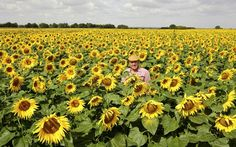 Nicholas Watts, owner of Vine House Farm, Deeping St Nicholas, Lincolnshire, in one of his fields of 140 acres of sunflowers grown for their seed for wild birds. Mr Watts is the UK's biggest sunflower grower.Picture: John Robertson